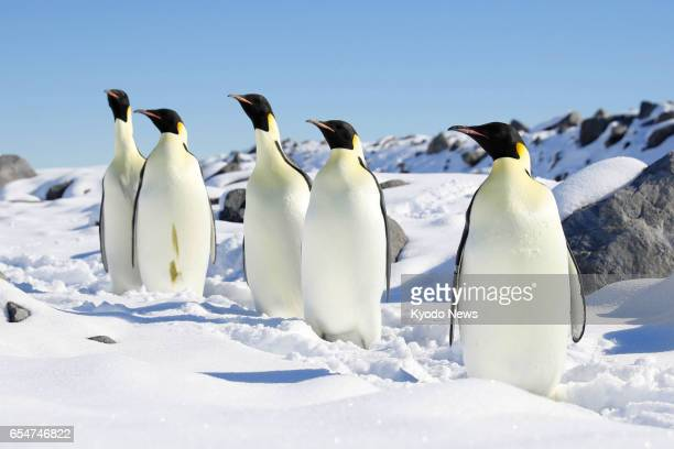 Emperor penguins stand on a coastal snowfield in the Antarctica on Feb 23 2017 The photo was taken from aboard the icebreaker Shirase during its...