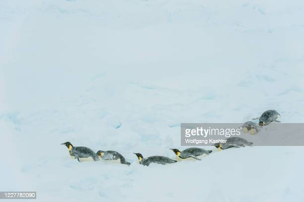 Emperor penguins tobogganing in the pack ice near Snow Hill Island in the Weddell Sea in Antarctica.