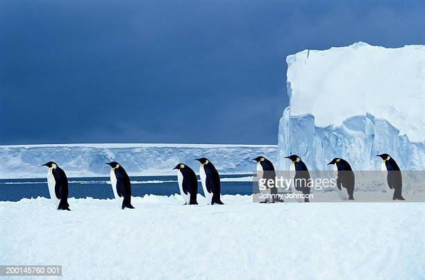 emperor penguins (aptenodytes forsteri) walking in a row, side view - antarctic ocean stock pictures, royalty-free photos & images
