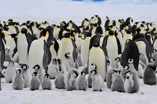 Emperor Penguins with chick 523883736