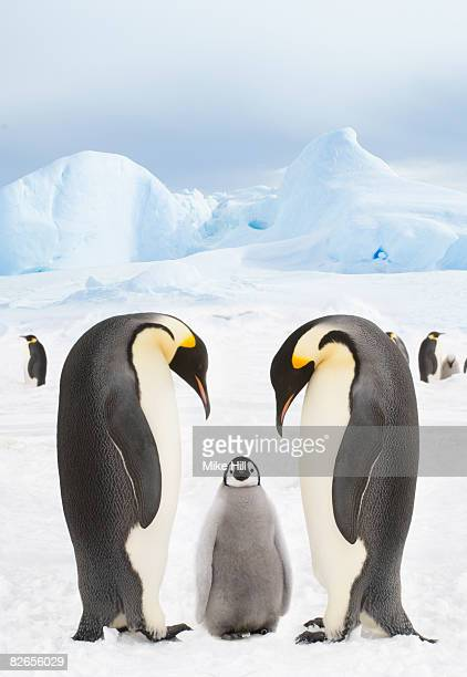 emperor penguins with chick - emperor penguin chick stock pictures, royalty-free photos & images
