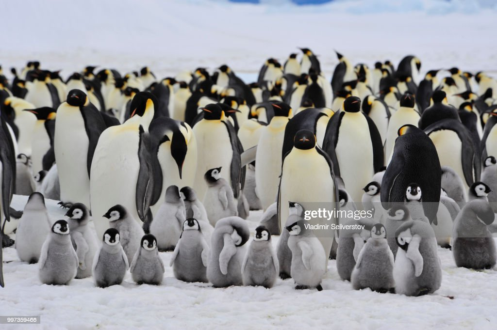 Emperor Penguins with chick : Stock Photo