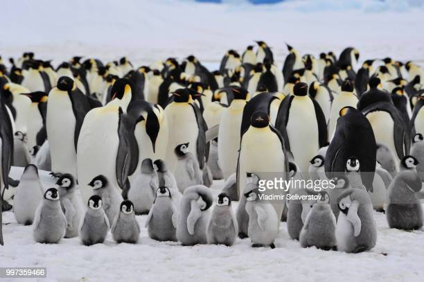 emperor penguins with chick - rookery stock pictures, royalty-free photos & images