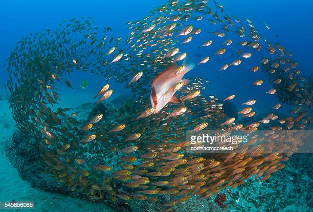 Emperor red snappers and golden sweepers schooling above seabed, Ponta Mamoli, Mozambique