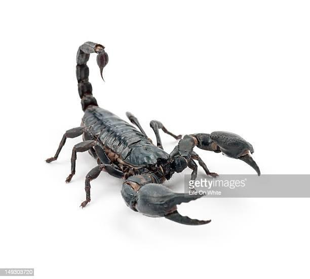 Emperor scorpion - Pandinus imperator