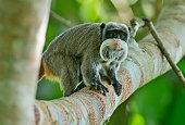 lone emperor tamarin monkey amazon rain