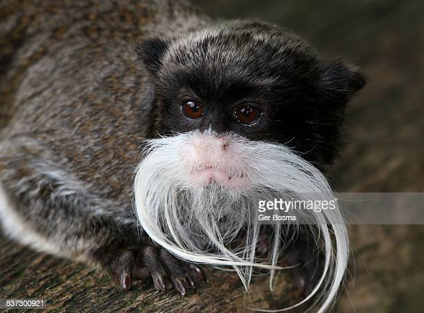 emperor tamarin - monkey paw stock photos and pictures