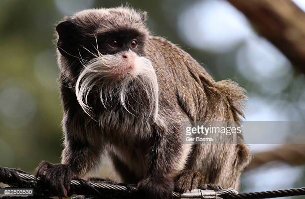emperor tamarin - amazon rainforest stock pictures, royalty-free photos & images