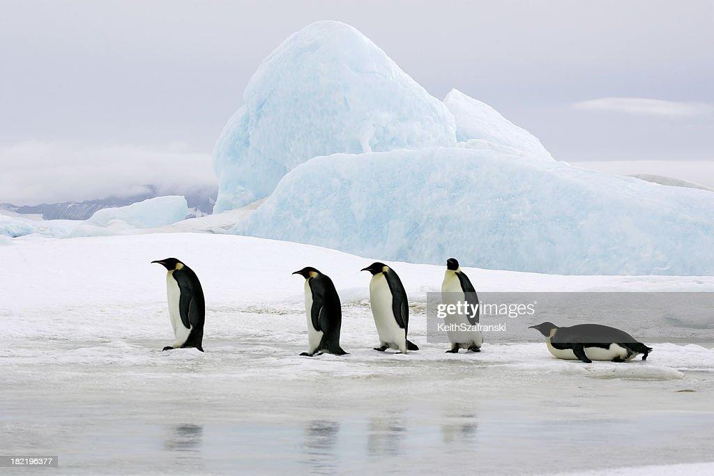 Emperors On Ice : Stock Photo