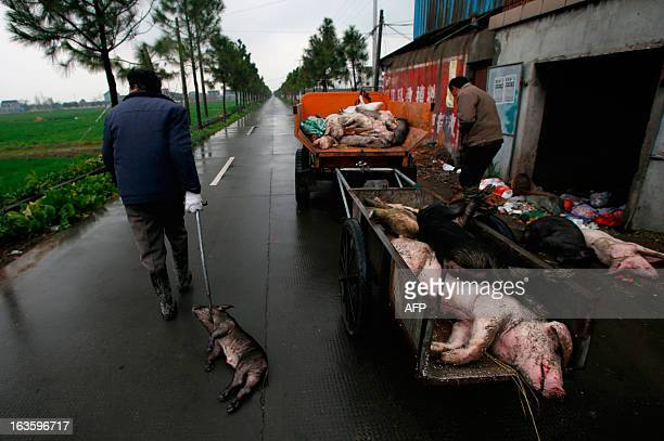Employed villagers gather dead pigs in a town in Jiaxing municipality east China's Zhejiang province on March 13 2013 The number of dead pigs found...