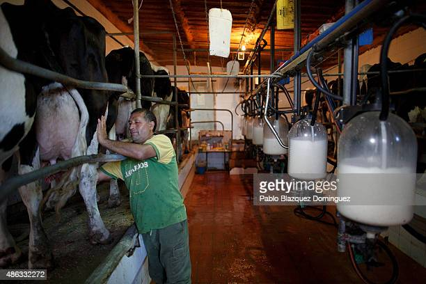 Employee Alberto cleans the udder of a dairy cow before milking it at a farm on August 31 2015 in Fuentespreadas near Zamora in Spain Many farmers...