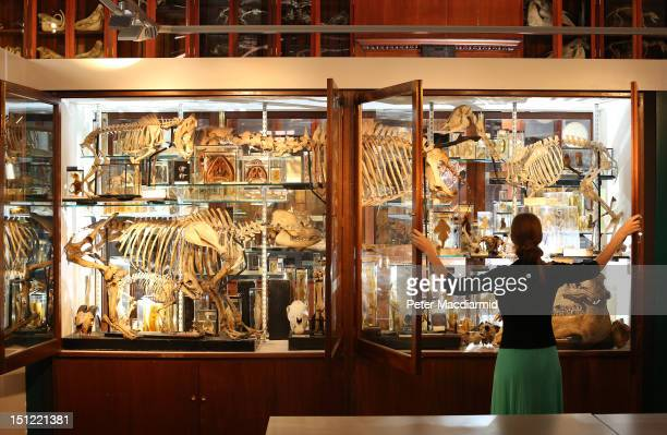Employee EmmaLouise Nicholls checks the display cabinets at The Grant Museum of Zoology on September 4 2012 in London England Containing 67000...