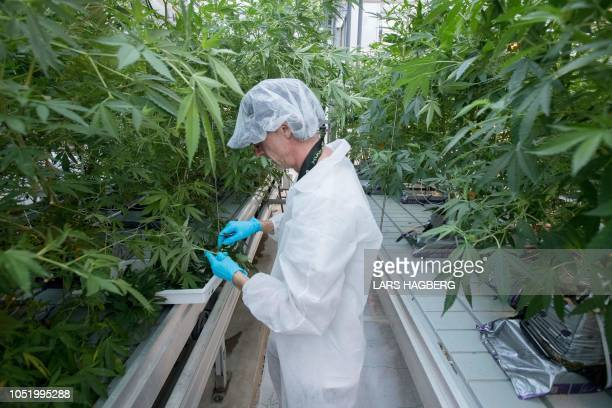 Employee Jason Gagne trims cannabis plants at Up's factory in Lincoln Ontario on October 12 2018 Canada will soon become the second country in the...