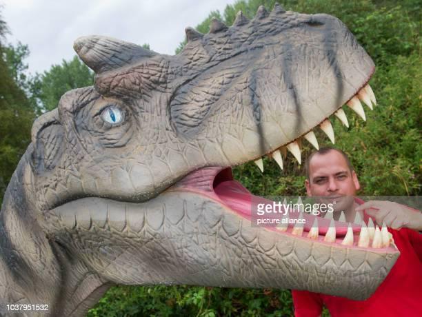Employee Marcel Kunkel check the teeth in the model of 'Allosaurus' at Dinosaur Land near Bobbin on the isle of Ruegen Germany 06August 2014 The...