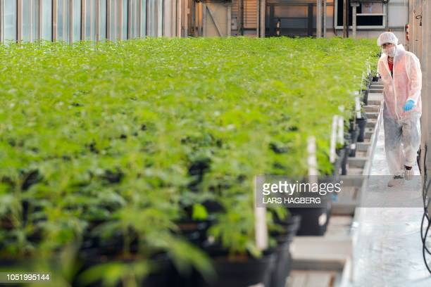 Employee Martin Henderson walks past several plants of cannabis at Up's cannabis factory in Lincoln Ontario on October 12 2018 Canada will soon...