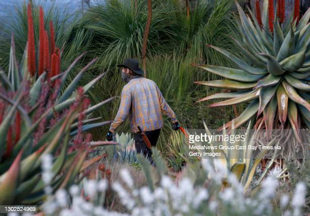 Employee Simon Szary cares for succulent plants at the Ruth Bancroft Garden in Walnut Creek, Calif., on Wednesday, Feb. 3, 2021.