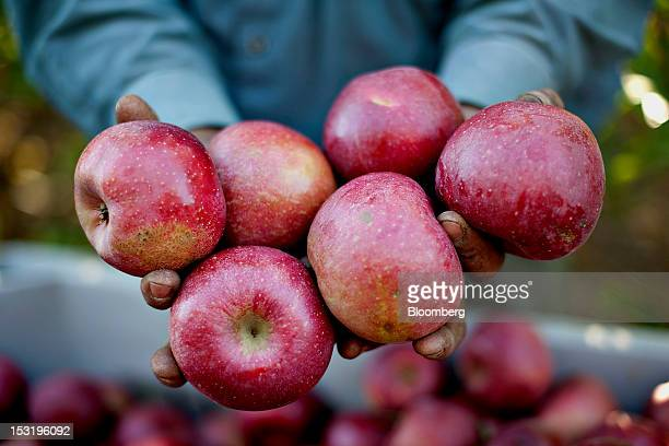 Employee Tony Garcia displays Rome apples at a Royal J Klein Son's orchard that will complete harvest over a month earlier than normal in Conklin...