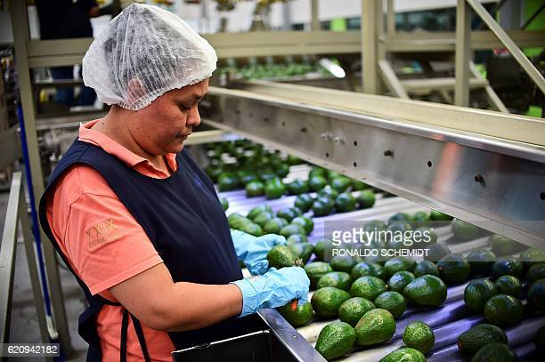 A employee works at an avocados packaging plant in the municipality of Uruapan Michoacan State Mexico on October 19 2016 With the United States...