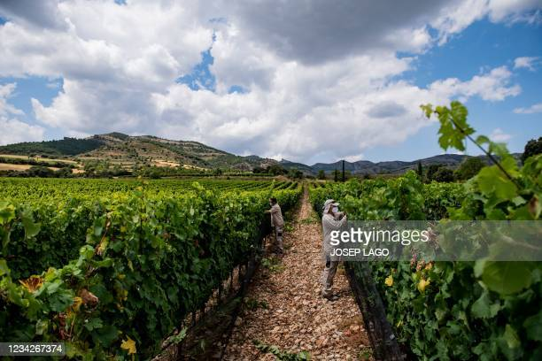 Employees care for grapevines at the Torres vineyard at a 950-metre altitude in Tremp near Lleida in the Catalan Pyrenees on July 27, 2021. - Climate...