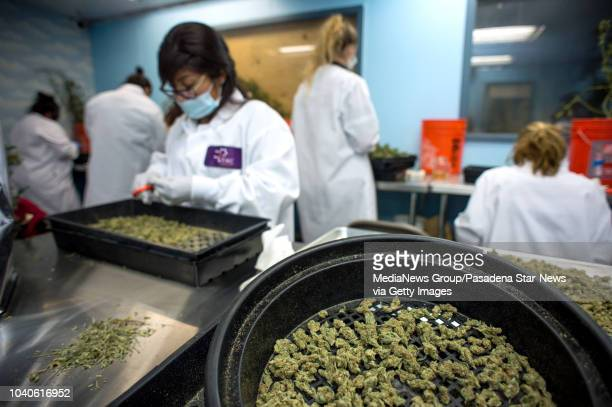 Employees clip cannabis flowers which are being tracked using barcodes at THC Design in Los Angeles on Tuesday September 18 2018 California will have...