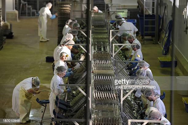 Employees cut off heads of sardines for canning on September 25 2013 in Quiberon western France at the canning factory 'La Belle Iloise' The company...