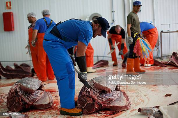 Employees cut recently fished bluefin tunas in to pieces in a fish plant just before it is frozen at minus 60 degrees Celsius of temperature during...