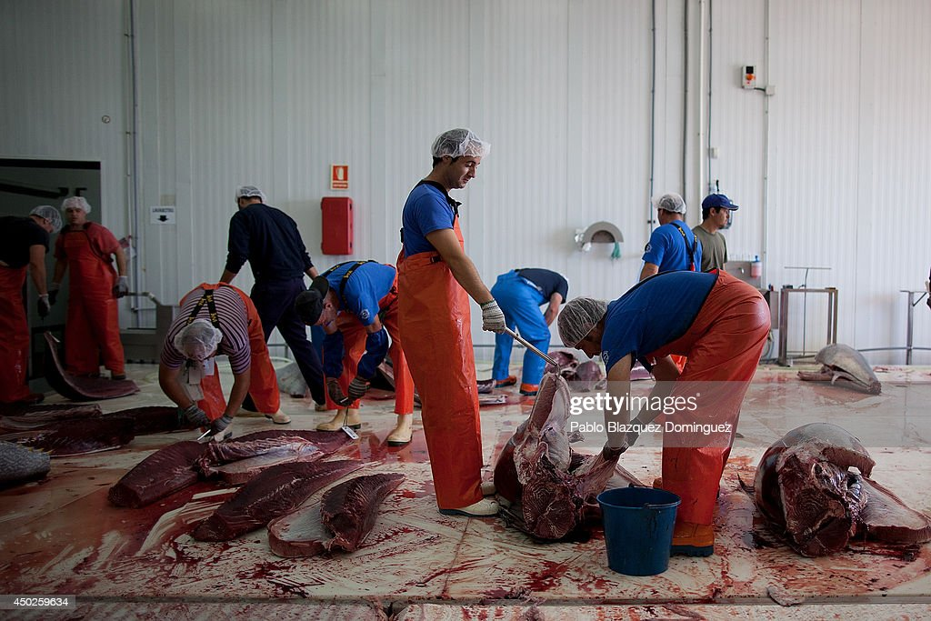 Employees cut recently fished bluefin tunas in to pieces just before in a fish plant just before it is frozen at minus 60 degrees Celsius of temperature during the end of the Almadraba tuna fishing season on June 3, 2014 in Barbate, Cadiz province, Spain. Almadraba is a traditional bluefin tuna fishing method in Southern Spain already used during Phoenician and Romans times. Fishers place mazes of nets to catch tuna migrating from the Atlantic Ocean to the Mediterranean Sea and select those that have the best size. Almadraba tuna is well demanded by Japanese for its quality. Today fishers use a different technique to control the catch amount by releasing many of the bluefin tunas before hauling the nets to avoid exceeding their limited quota fixed by International Commission for the Conservation of Atlantic Tunas 'ICCACT'. Almadraba fishers association claim the fishing quota could now be increased as fishers are struggling and the tuna population has recovered quite well.