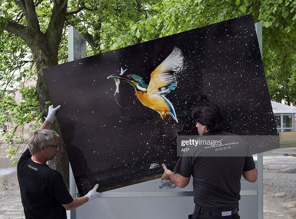 Employees hangs a poster in preparation for the exhibition Wild Wonders of Europe, on the Lange Vijverberg in The Hague, The Netherlands, on May 24, 2010. The free, open air photo exhibition shows more than a hundred life size nature pictures by sixty-nine photographers. AFP PHOTO ANP ROBERT VOS netherlands out - belgium out