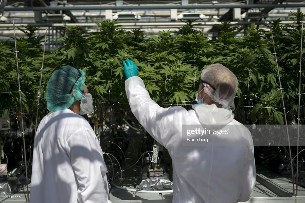 Employees inspect cannabis plants at the CannTrust Holding Inc. Niagara Perpetual Harvest facility in Pelham, Ontario, Canada, on Wednesday, July 11, 2018. Canadian pot stocks have had a wild ride in the past year with the BI Canada Cannabis Competitive Peers Index surging about 250 percent from October to December as the road to legalization became clearer in Canada, before dropping by about 36 percent this year. Photographer: Cole Burston/Bloomberg via Getty Images