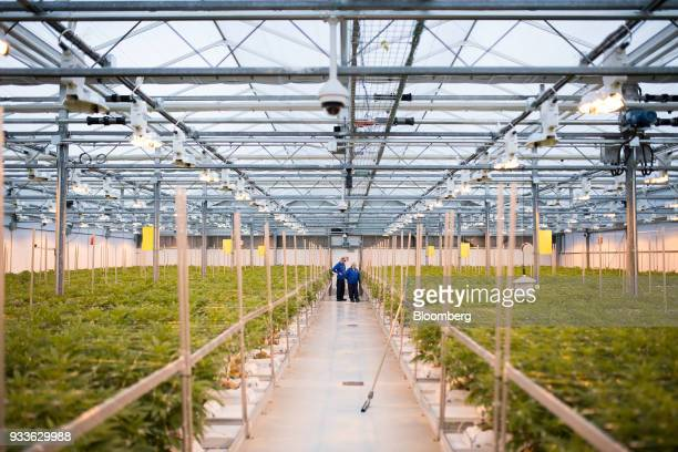 Employees inspect cannabis plants in a greenhouse at the 7ACRES facility in Tiverton Ontario Canada on Tuesday March 13 2018 Leaders in the Senate...