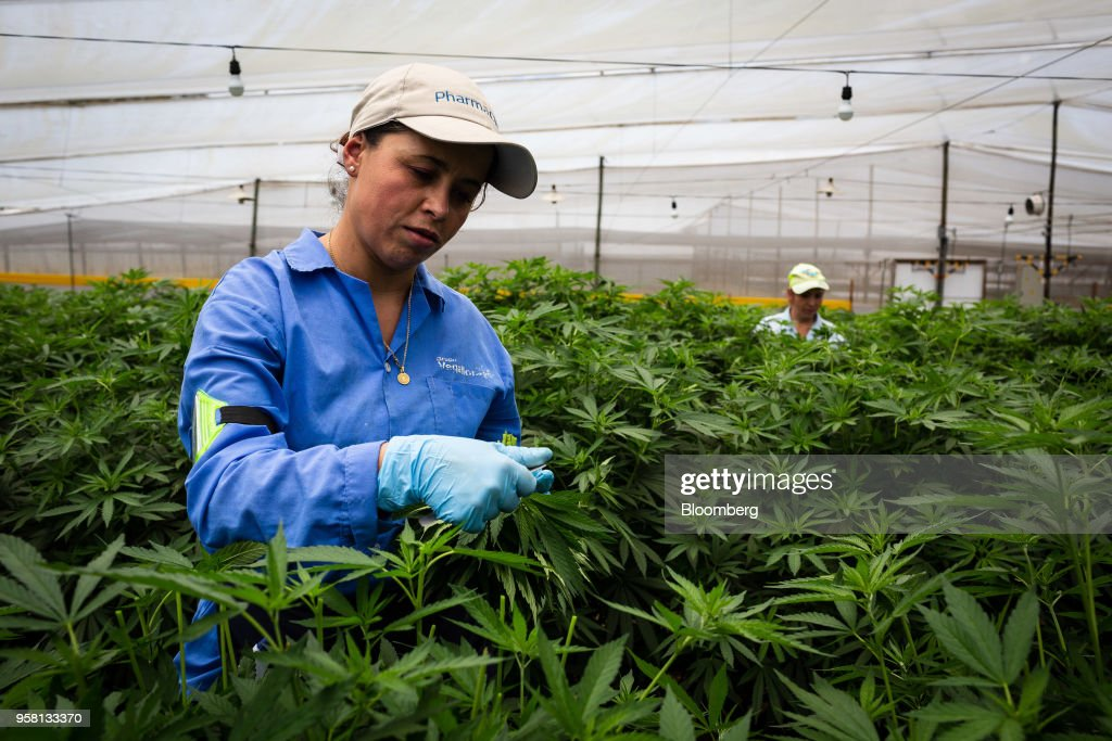 Employees make cuts from mother marijuana plants to grow clones at the PharmaCielo Ltd. facility in Rionegro, Colombia, on Thursday, April 26, 2018. Following the 2015 legalization of medical marijuana by Colombian President Juan Manuel Santos, the Canadian company PharmaCielo opened an operational base in the South American country, becoming the first company to apply for and receive the Colombian licences for cannabis cultivation. Photographer: Eduardo Leal/Bloomberg via Getty Images