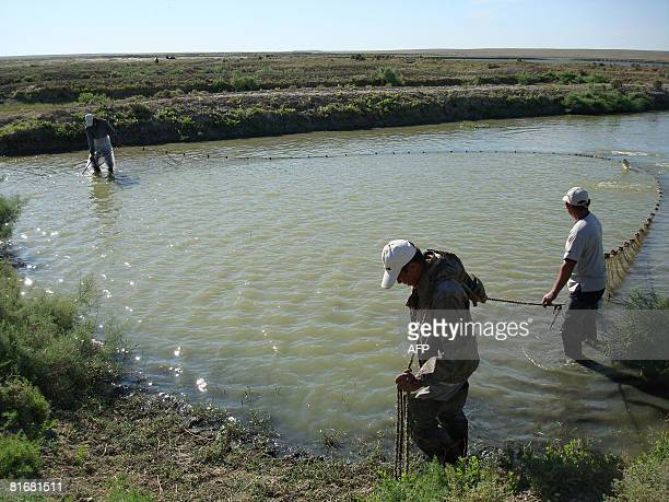 Employees of a local fish hatchery work in the backwaters of the Aral Sea in the village of Koszhar in southwestern Kazakhstan on June 19 2008 The...