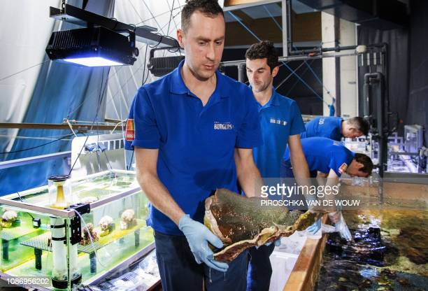 Employees of Burgers Zoo in Arnhem removes coral from a growing basin on January 23 2019 Over 300 homegrown coral sea anemones and coral fish are...