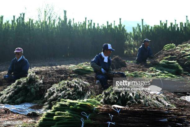 Employees of Nagomi Farm sort freshly harvested three-year-old Wakamatsu trees in a field prior to them being prepared for shipping on November 18,...
