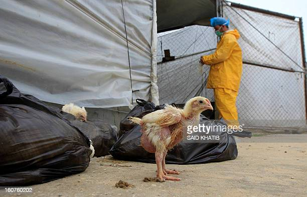 Employees of the Hamas Ministry of Agriculture collect poultry that was smuggled into the Gaza Strip from Egypt by Palestinian farm owners on...