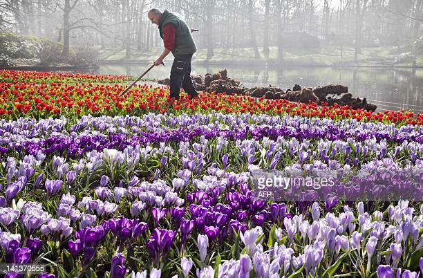Employees of the Keukenhof the world's largest flower garden situated near Lisse in The Netherlands is preparing for the opening of the season...