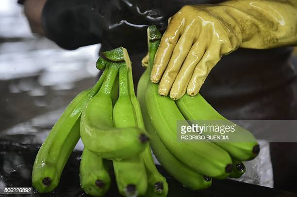 Employees of the 'Mateo' banana plantation on a normal workday in Chobo Ecuador 400 km southwest of Quito on January 13 2016 Bananas Ecuador's...