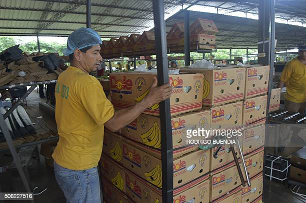 Employees of the Mateo banana plantation on a normal workday in Chobo Ecuador 400 km southwest of Quito on January 13 2016 Bananas Ecuador's...