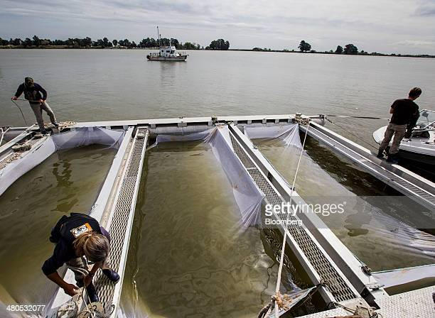 Employees of the US Fish and Wildlife Service prep pens for Chinook salmon in Rio Vista California US on Tuesday March 25 2014 California will begin...