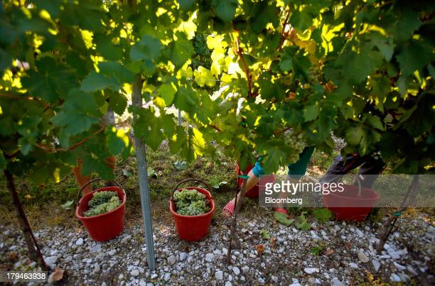 Employees pick grapes from vines grown for their use in Prosecco wine on the first day of the grape harvest at I Magredi vineyard in Pordenone Italy...