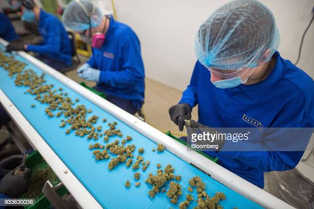 Employees process harvested marijuana at the 7ACRES facility in Tiverton Ontario Canada on Tuesday March 13 2018 Leaders in the Senate have reached a...