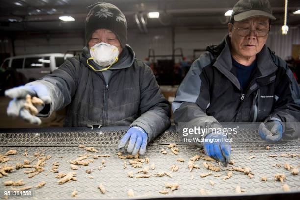 Employees separate out the best of the ginseng at Hsu Ginseng Farm in Wausau Wisconsin Monday April 9 2018