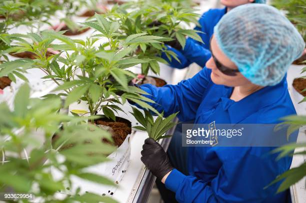 Employees trim cannabis plants in a greenhouse at the 7ACRES facility in Tiverton Ontario Canada on Tuesday March 13 2018 Leaders in the Senate have...