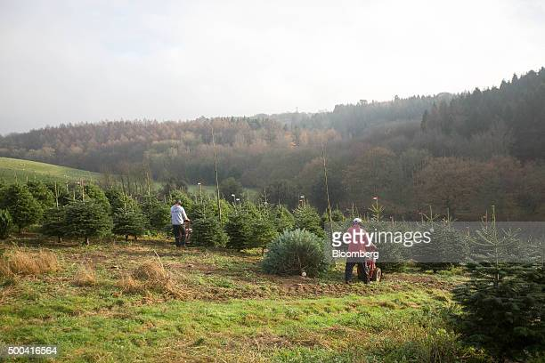 Employees use machines to cut Christmas trees at Santa Fir Christmas Tree Farm near Guildford UK on Monday Dec 7 2015 With inflation stagnant and...