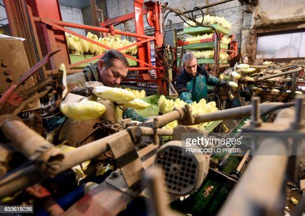 Employees work at a chicory factory in Marcoing northern France on February 2 2017 Symbolic vegetable in northern France the chicory experienced a...