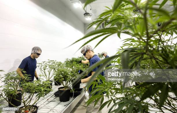 Employees work in the Mother Room at the Canopy Growth Corp facility in Smith Falls Ontario Canada on Tuesday Dec 19 2017 Canadian medical marijuana...
