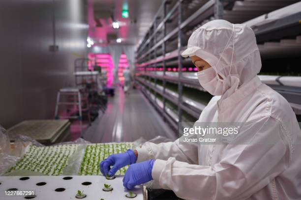 Employees work on planting new lettuce shoots that in about 10 days are ready to be harvested. In Japan, the vertical farm Innovatus is developing...