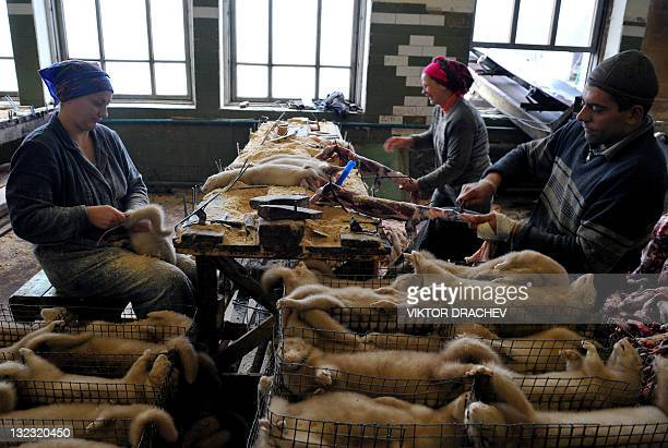 Employees work with mink pelts at a pelt farm near the village of Babino some 180 kms outside Minsk on November 11 2011 The farm produces some 2400...