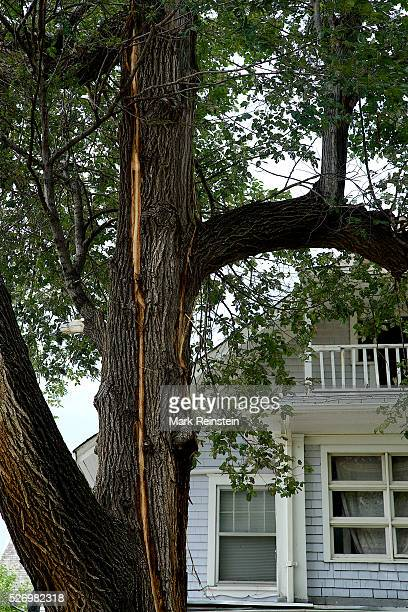 Emporia Kansas9 32014 A tree struck by lightning in last night's storm at 807 Mechanic St Credit Mark Reinstein