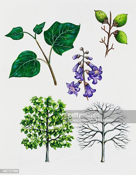 Empress tree Princess tree or Foxglove tree Scrophulariaceae tree with and without foliage leaves flowers and fruits illustration